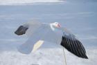 snow_goose_flyer