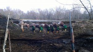 Mallards From Scouting